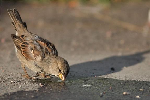 [img]http://www.digitalnature.org/vogels/huismus%205.jpg[/img]